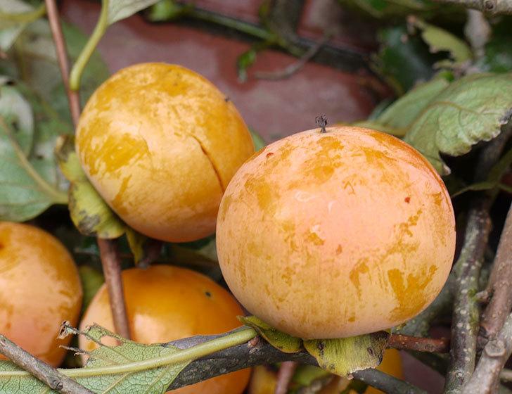 3回目の柿の収穫をした。2016年-2.jpg