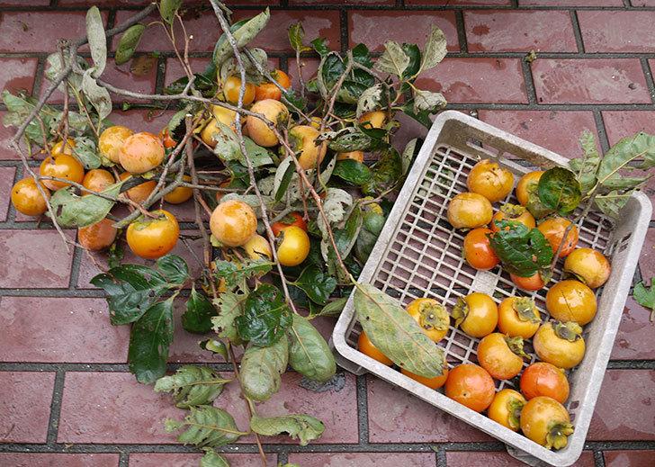 3回目の柿の収穫をした。2016年-3.jpg