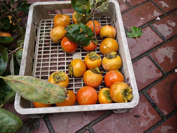 3回目の柿の収穫をした。2016年-4.jpg