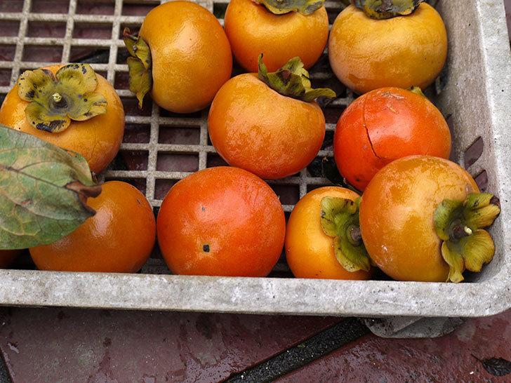 3回目の柿の収穫をした。2016年-5.jpg