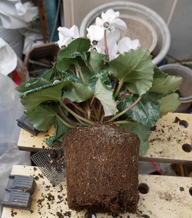 4個買ったシクラメンの5号鉢を植え替えた。2018年-10.jpg