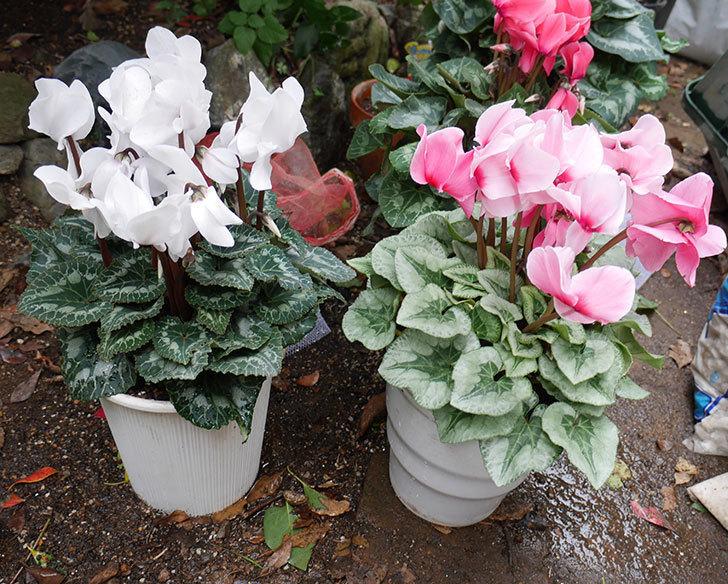 4個買ったシクラメンの5号鉢を植え替えた。2018年-12.jpg