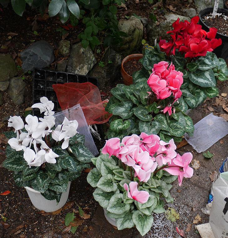 4個買ったシクラメンの5号鉢を植え替えた。2018年-13.jpg
