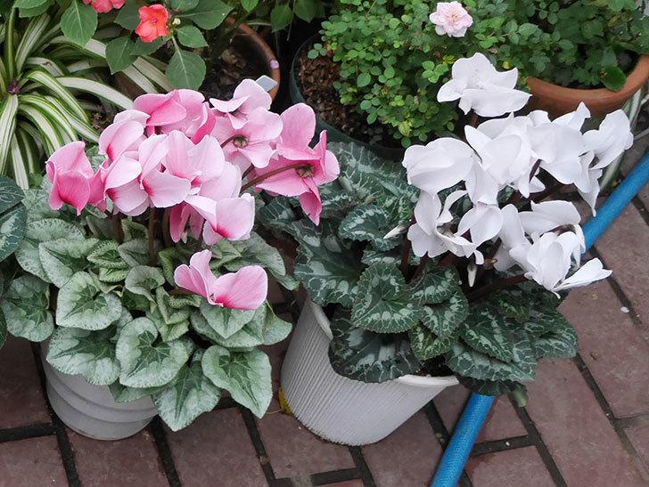 4個買ったシクラメンの5号鉢を植え替えた。2018年-15.jpg