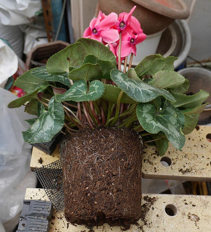 4個買ったシクラメンの5号鉢を植え替えた。2018年-6.jpg