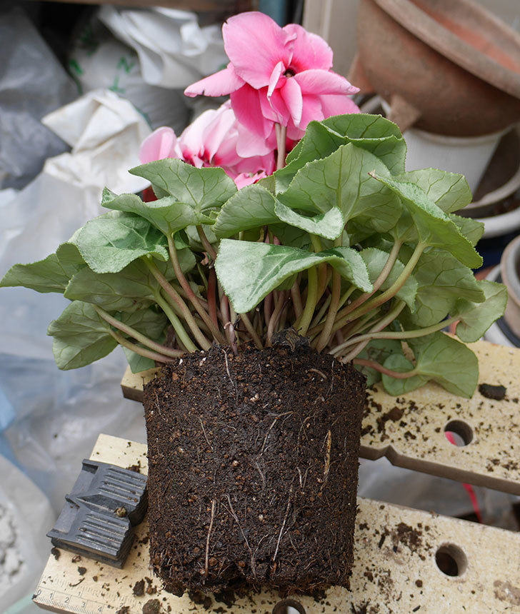 4個買ったシクラメンの5号鉢を植え替えた。2018年-8.jpg