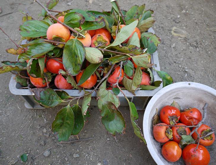4回目の柿の収穫をした。2014-1.jpg
