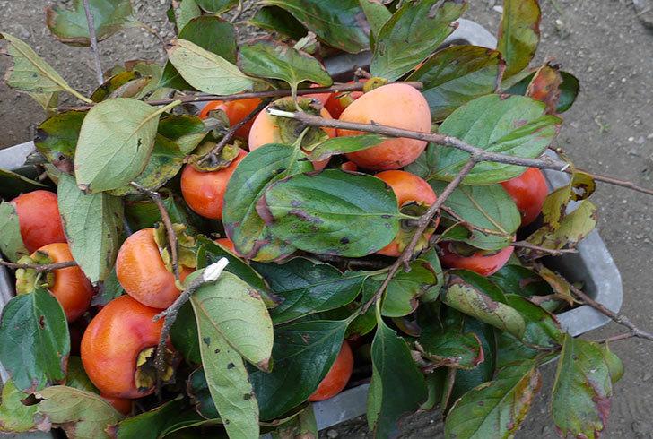 4回目の柿の収穫をした。2014-2.jpg