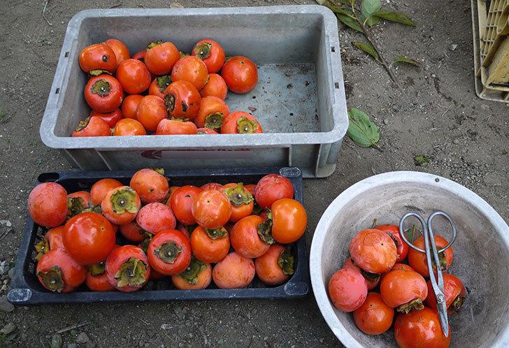 4回目の柿の収穫をした。2014-4.jpg