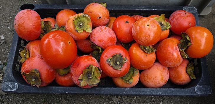 4回目の柿の収穫をした。2014-5.jpg