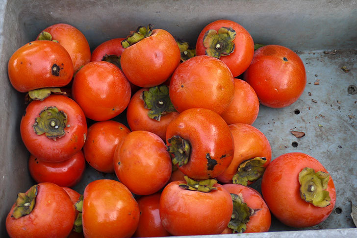 4回目の柿の収穫をした。2014-6.jpg