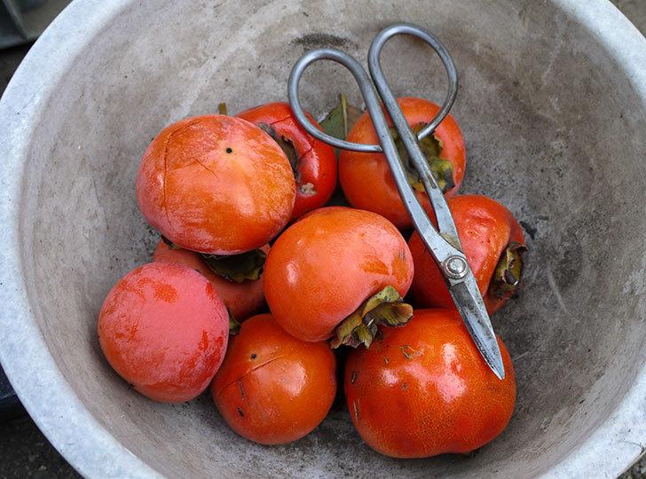 4回目の柿の収穫をした。2014-7.jpg