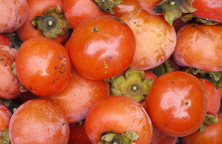4回目の柿の収穫をした。2015年-1.jpg