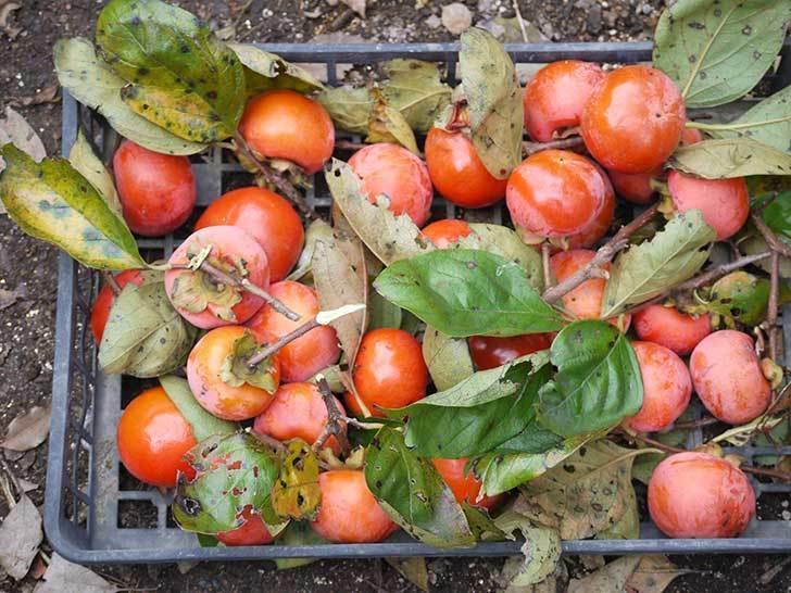 4回目の柿の収穫をした。2015年-2.jpg