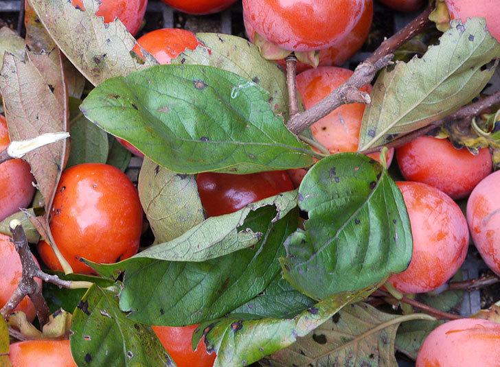 4回目の柿の収穫をした。2015年-3.jpg