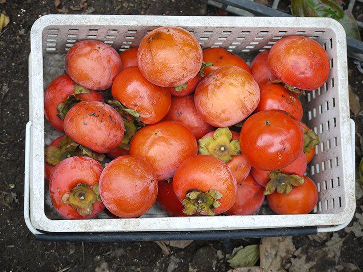 4回目の柿の収穫をした。2015年-4.jpg