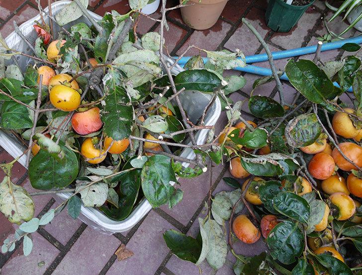 4回目の柿の収穫をした。2016年-2.jpg