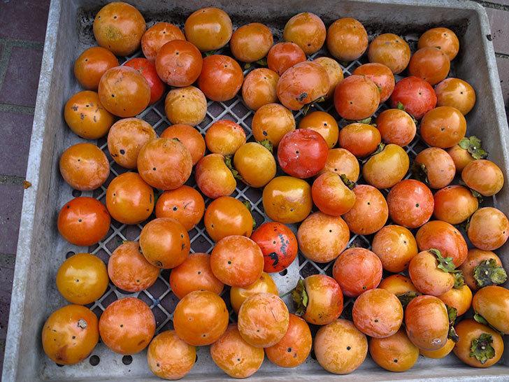 4回目の柿の収穫をした。2016年-4.jpg