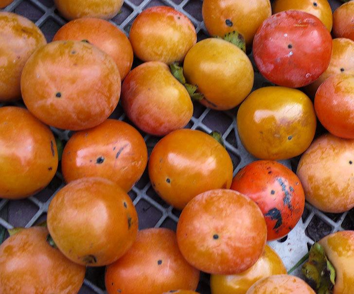 4回目の柿の収穫をした。2016年-5.jpg