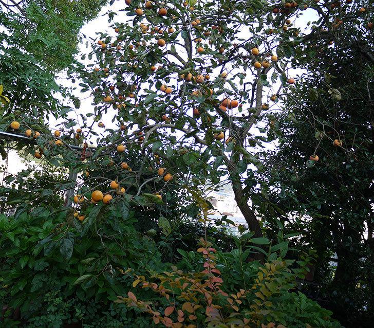 4回目の柿の収穫をした。2016年-7.jpg