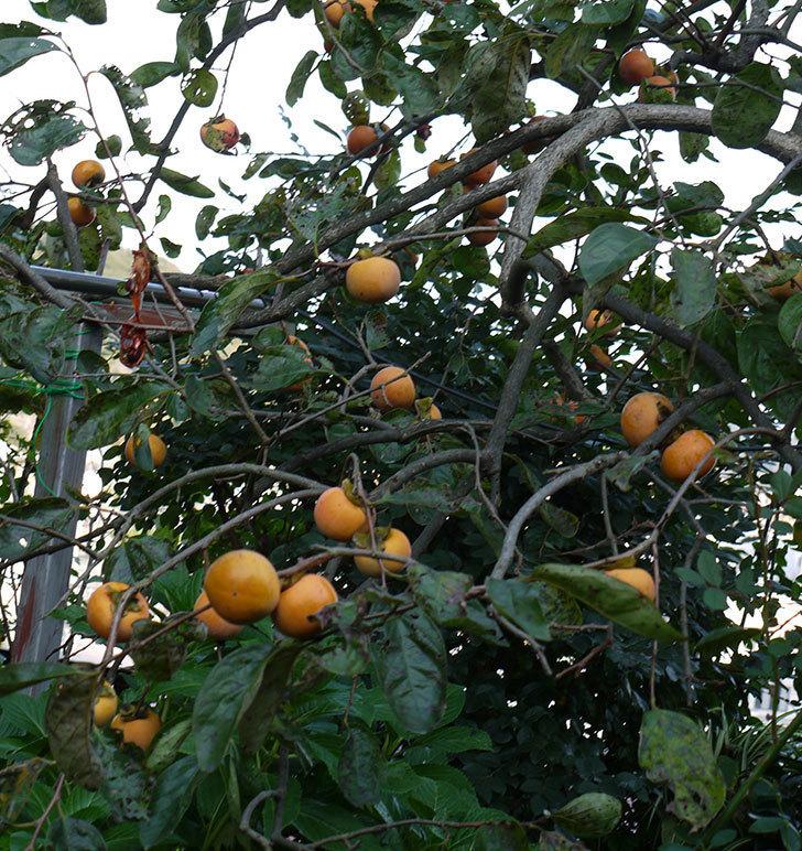 4回目の柿の収穫をした。2016年-8.jpg