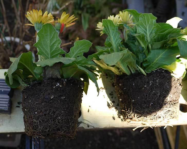 50円で買ったガーベラをプラ鉢に植えた。2015年-3.jpg