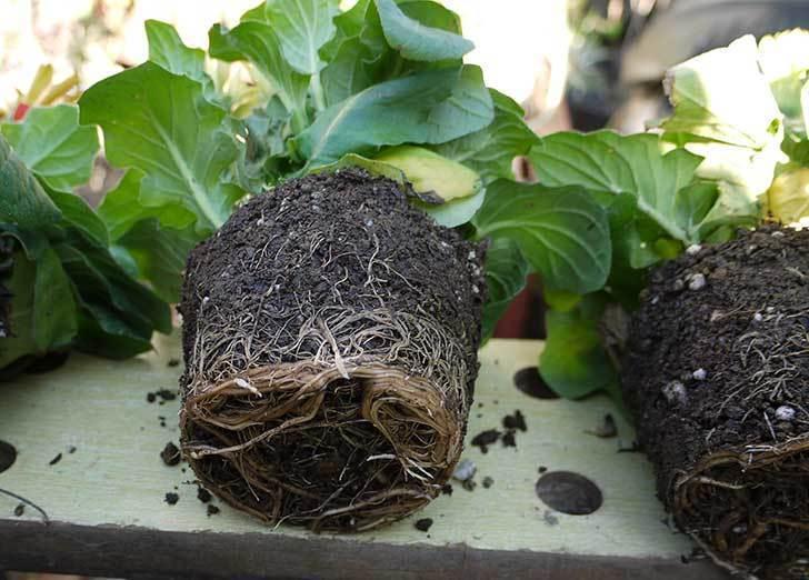 50円で買ったガーベラをプラ鉢に植えた。2015年-4.jpg