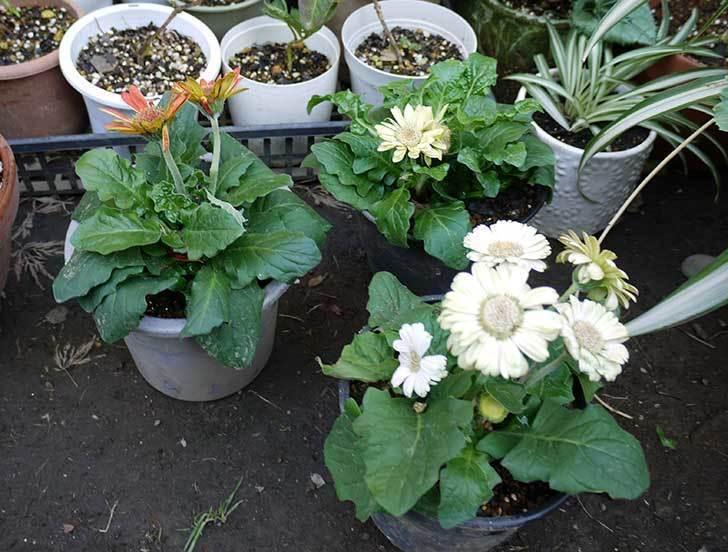 50円で買ったガーベラをプラ鉢に植えた。2015年-5.jpg