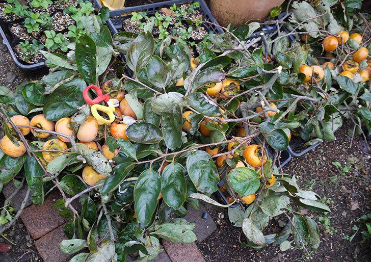 5回目の柿の収穫をした。2016年-1.jpg