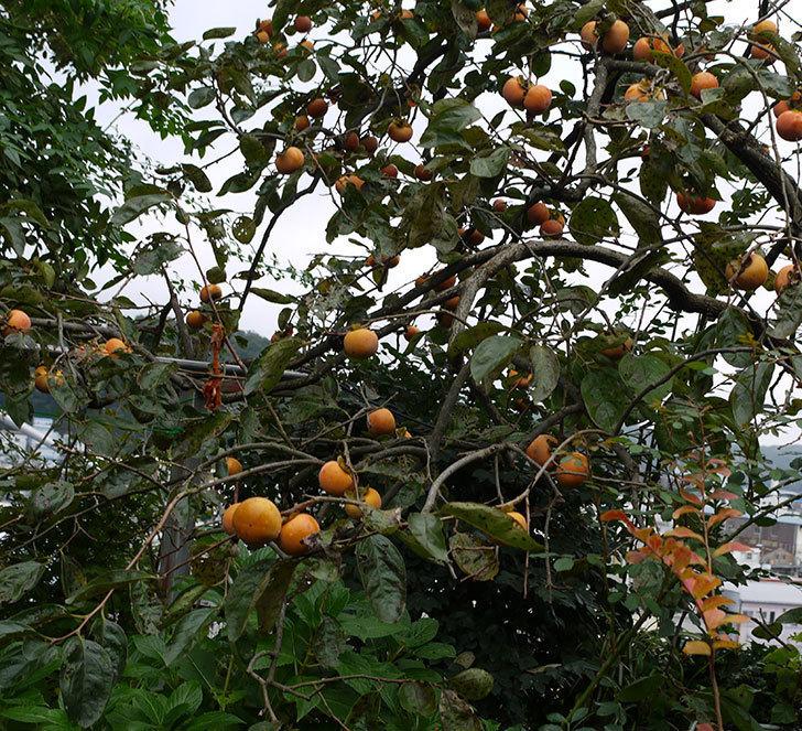 5回目の柿の収穫をした。2016年-2.jpg