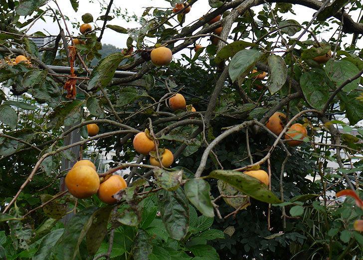 5回目の柿の収穫をした。2016年-3.jpg