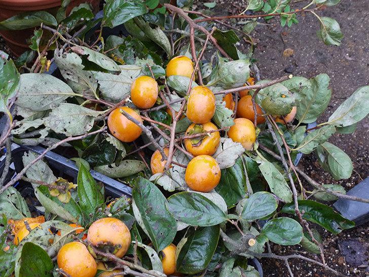 5回目の柿の収穫をした。2016年-5.jpg