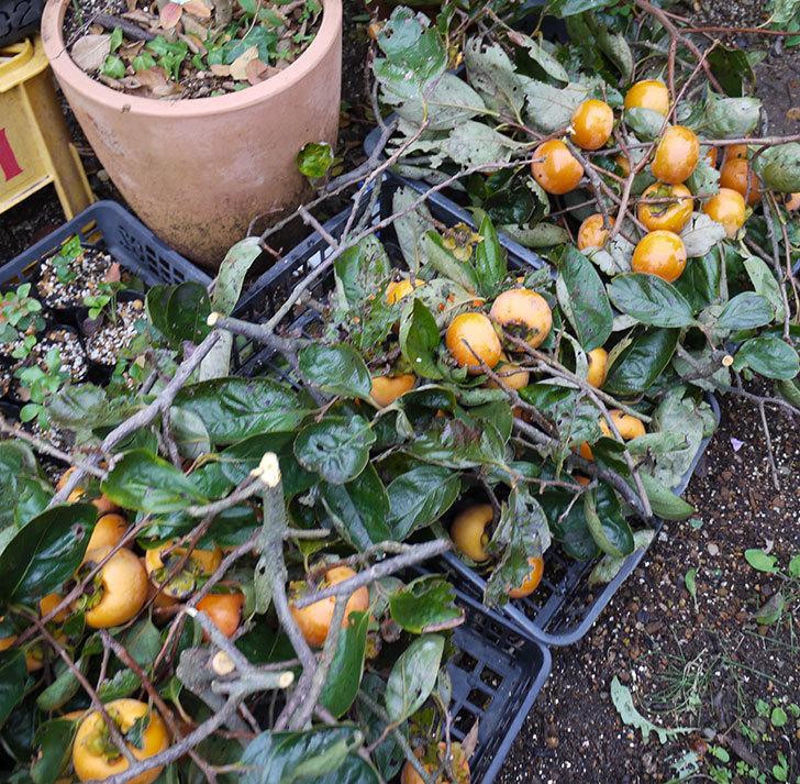 5回目の柿の収穫をした。2016年-6.jpg
