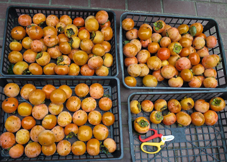 5回目の柿の収穫をした。2016年-7.jpg