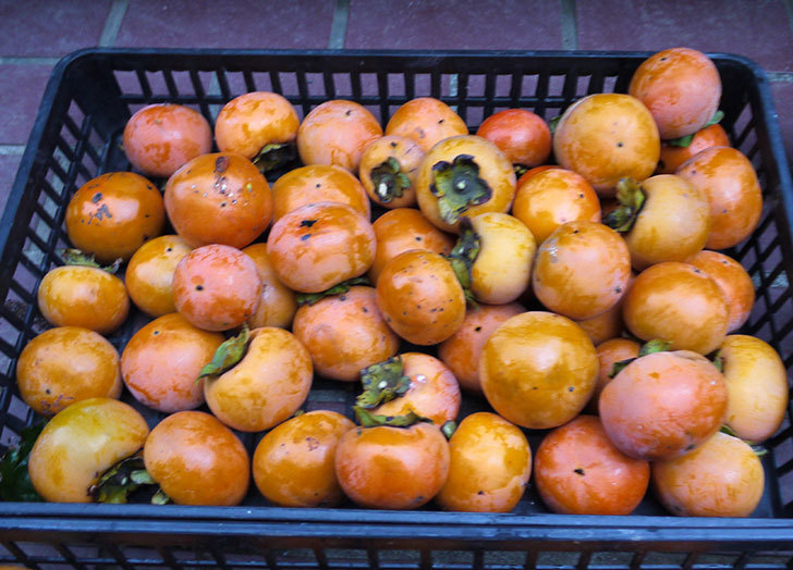 5回目の柿の収穫をした。2016年-8.jpg