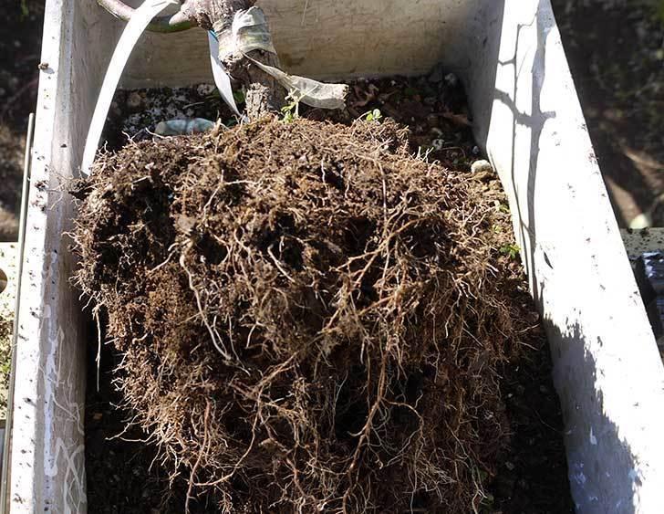 CLジュリア(バラ)を庭植えした11.jpg