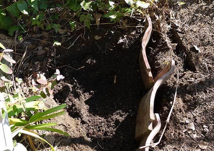 CLジュリア(バラ)を庭植えした13.jpg