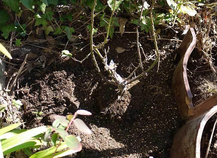 CLジュリア(バラ)を庭植えした16.jpg