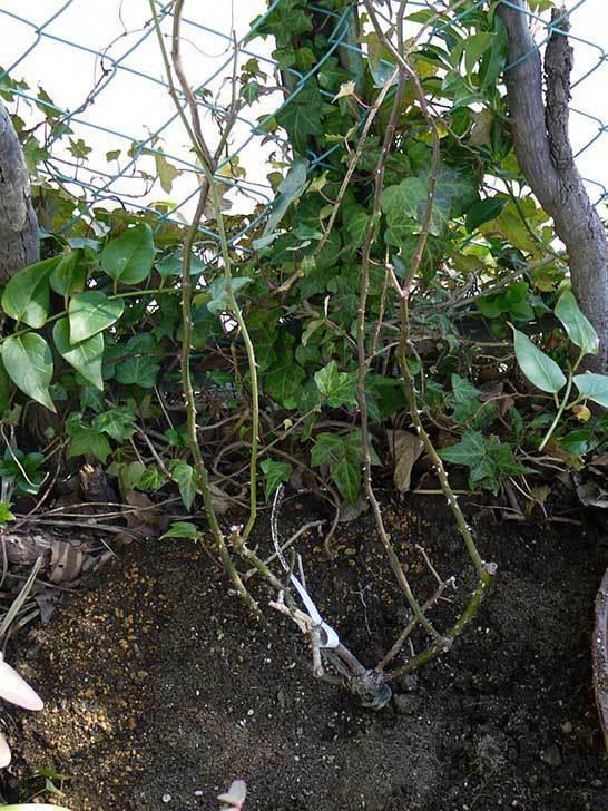 CLジュリア(バラ)を庭植えした20.jpg