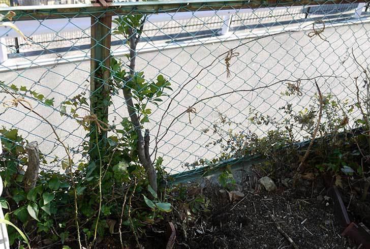 CLジュリア(バラ)を庭植えした21.jpg