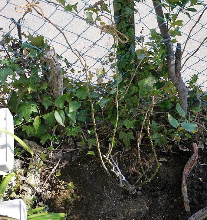 CLジュリア(バラ)を庭植えした23.jpg
