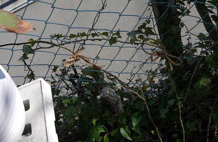CLジュリア(バラ)を庭植えした24.jpg