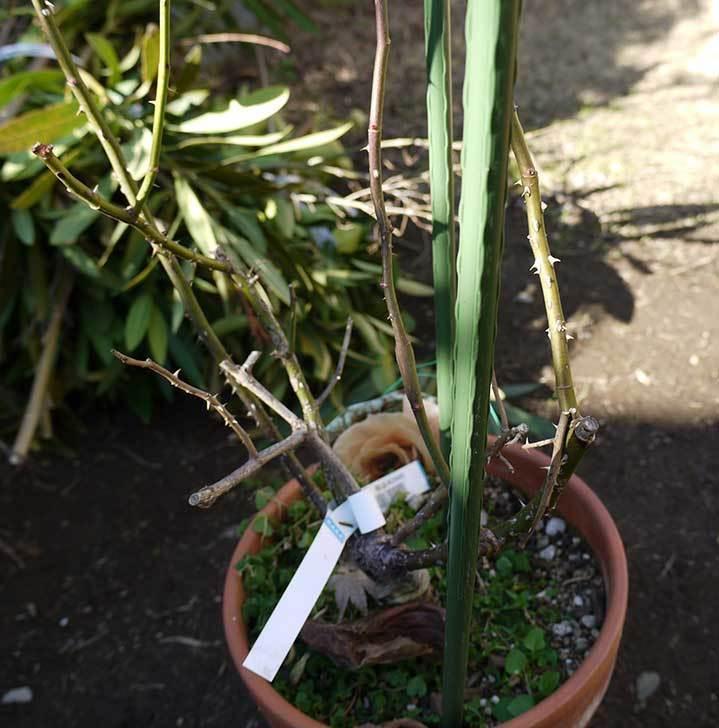 CLジュリア(バラ)を庭植えした3.jpg