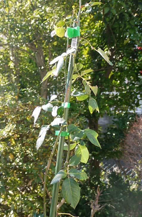 CLジュリア(バラ)を庭植えした4.jpg