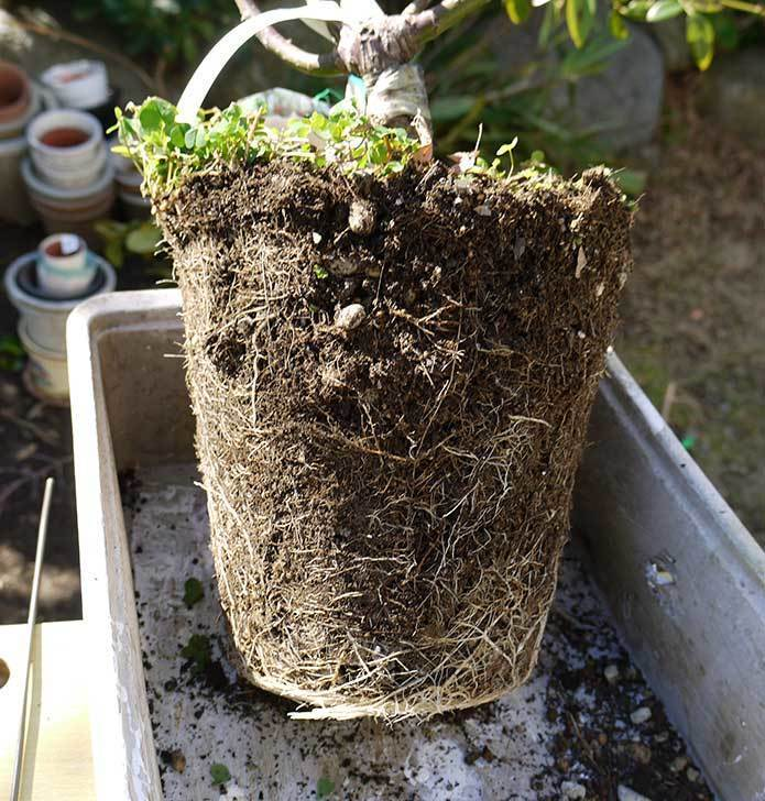 CLジュリア(バラ)を庭植えした6.jpg