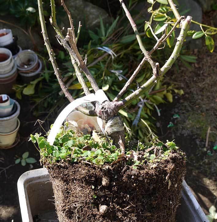 CLジュリア(バラ)を庭植えした7.jpg