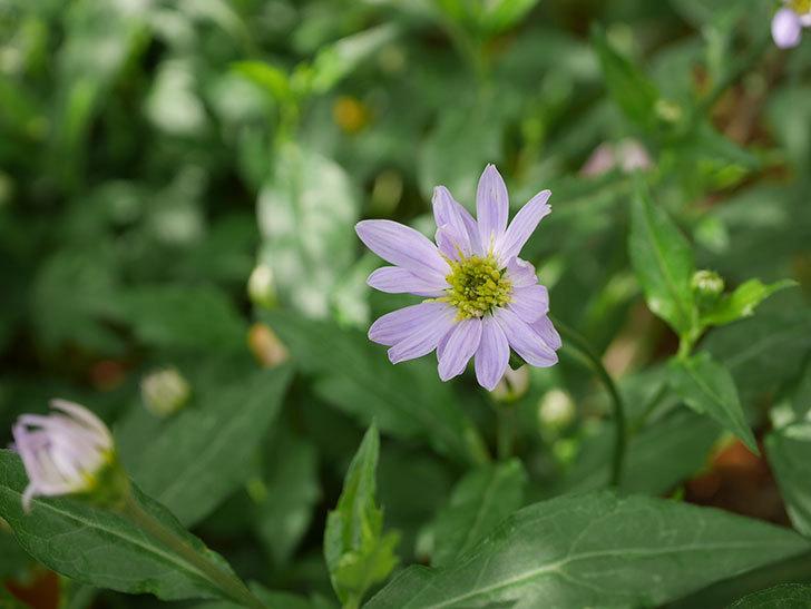 うすい紫のミヤコワスレ(ノシュンギク)の花が咲いた。2021年-001.jpg