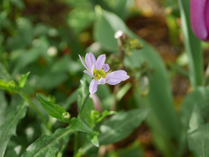 うすい紫のミヤコワスレ(ノシュンギク)の花が咲いた。2021年-002.jpg