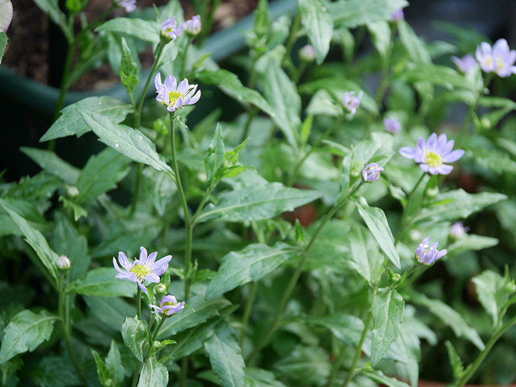 うすい紫のミヤコワスレ(ノシュンギク)の花が咲いた。2021年-005.jpg