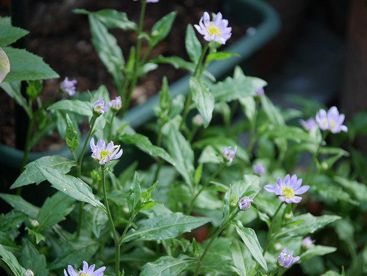 うすい紫のミヤコワスレ(ノシュンギク)の花が咲いた。2021年-006.jpg